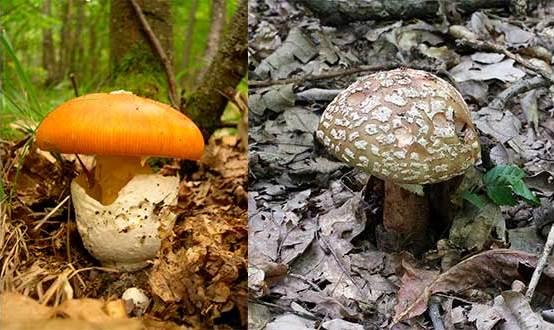Цезарский гриб, серо-розовый мухомор